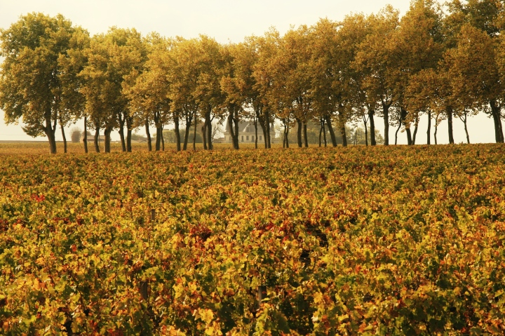 Vineyards at Margaux